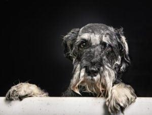 unhappy wet dog in bath