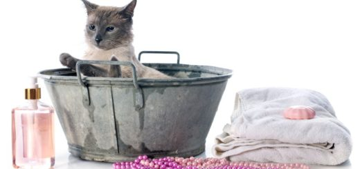 siamese cat in pond in front of white background