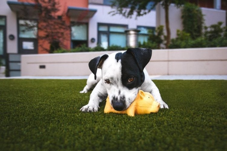 Dog playing with an indestructible chew toy