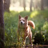dog breed in woods looking for food