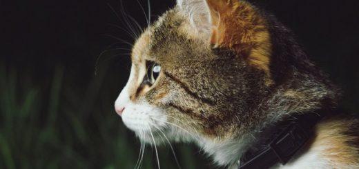 cat wearing flea collar
