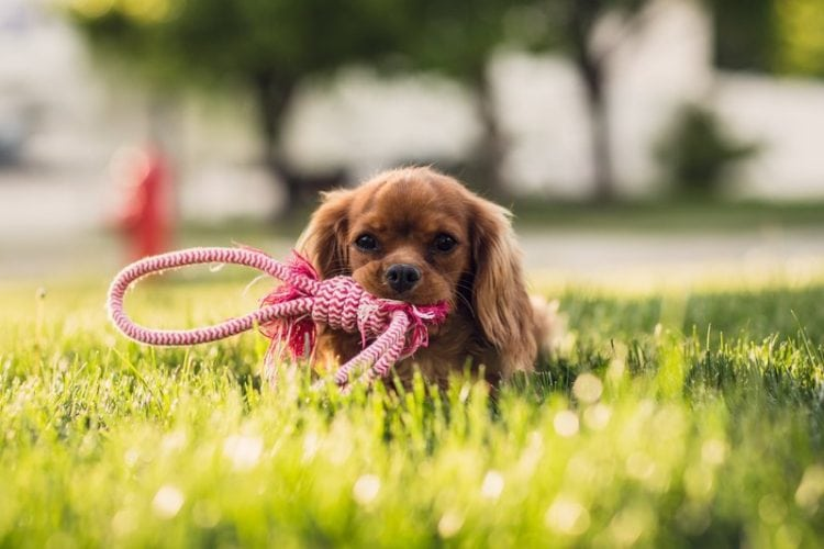 puppy rope